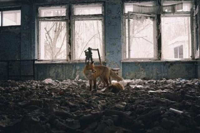 Чорнобиль тварини